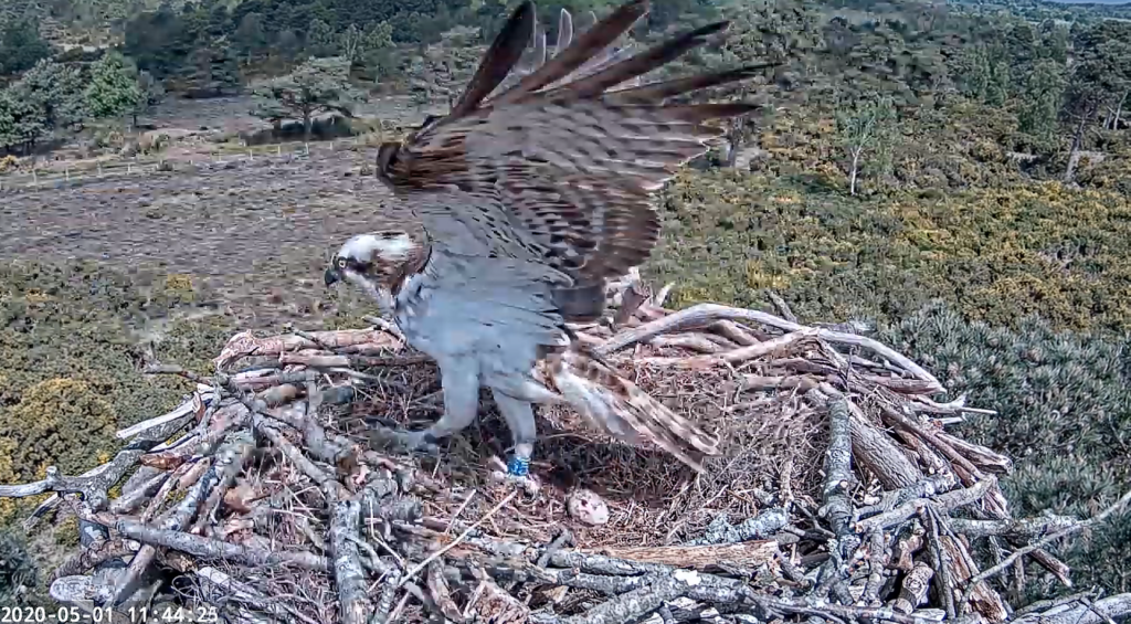 Osprey CJ7 on the nest with an infertile egg.
