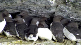 Guillemots on a ledge in Durlston