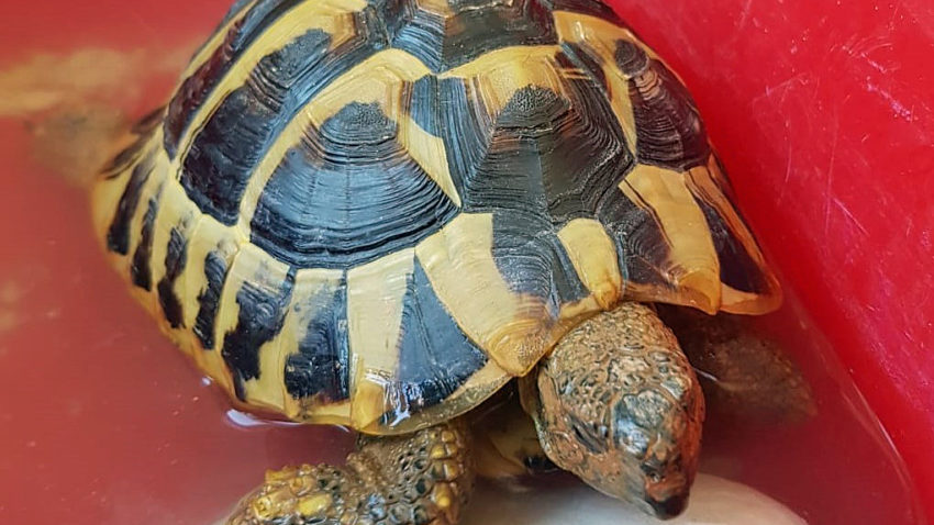 Sprout the tortoise having his first bath