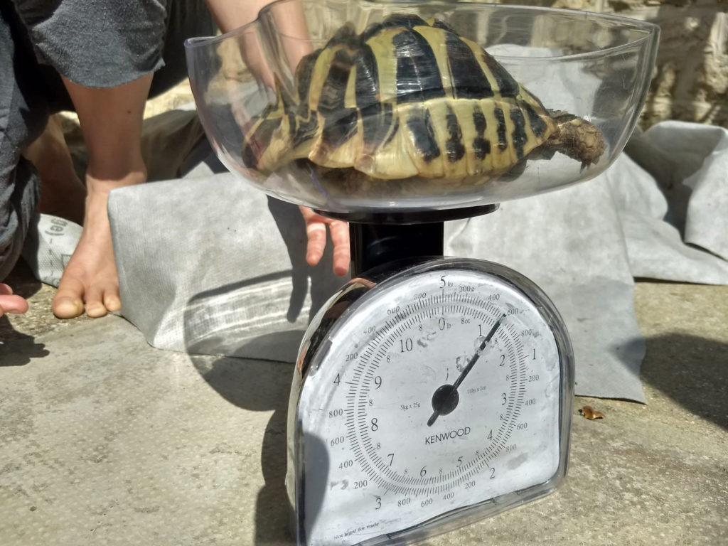 Sprout the tortoise being weighed