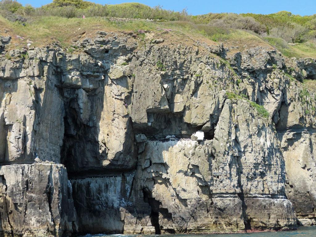 Guillemot cliff ledge at Durlston