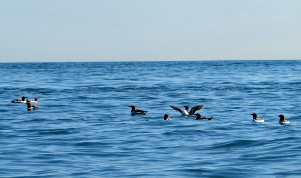 Guillemots in sea