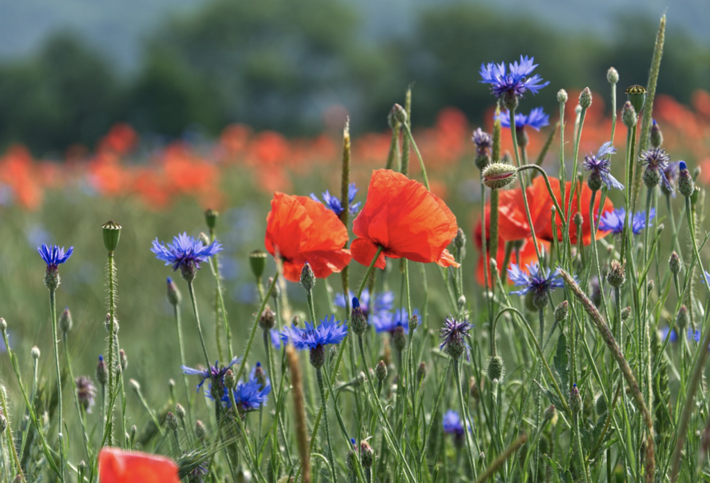 Wildflowers in meadow, with poppies and cornflowers