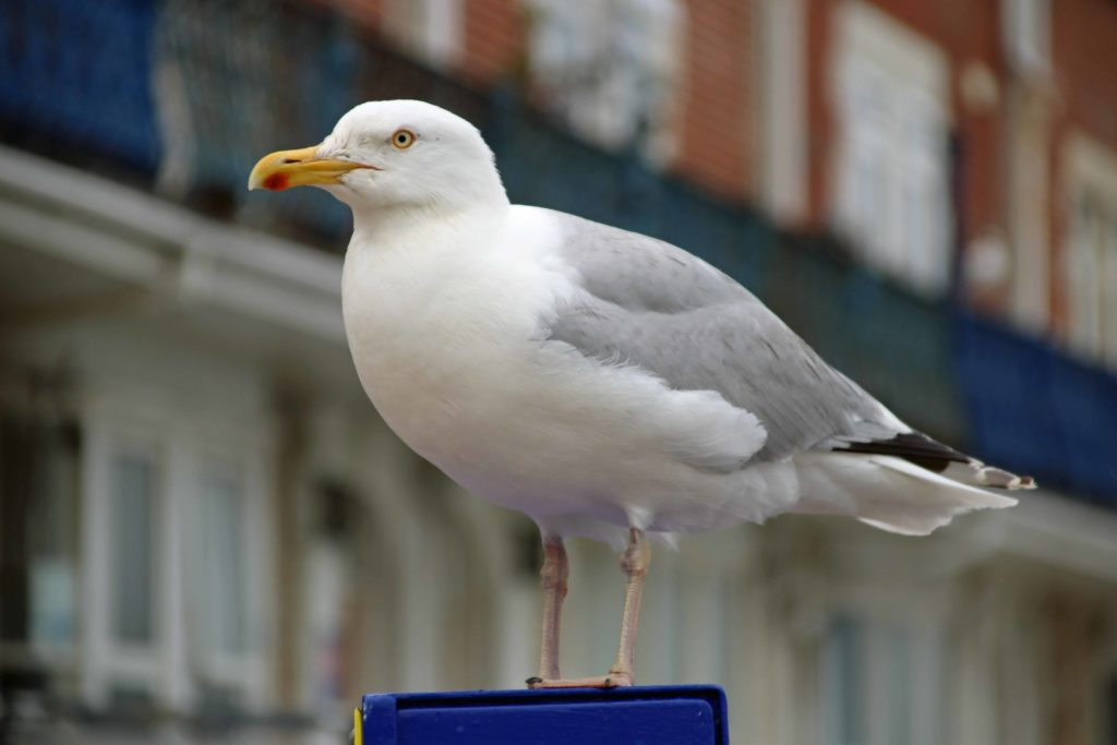 Seagull in Swanage