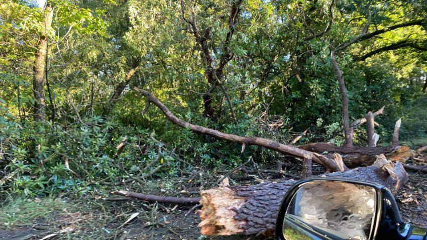 Fallen tree at Sandford