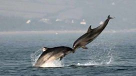 Dolphins appearing to kiss in mid air.