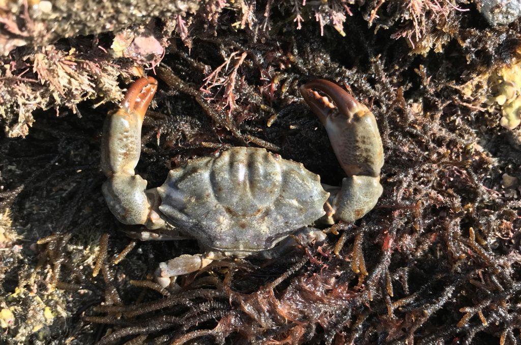 Furrowed crab