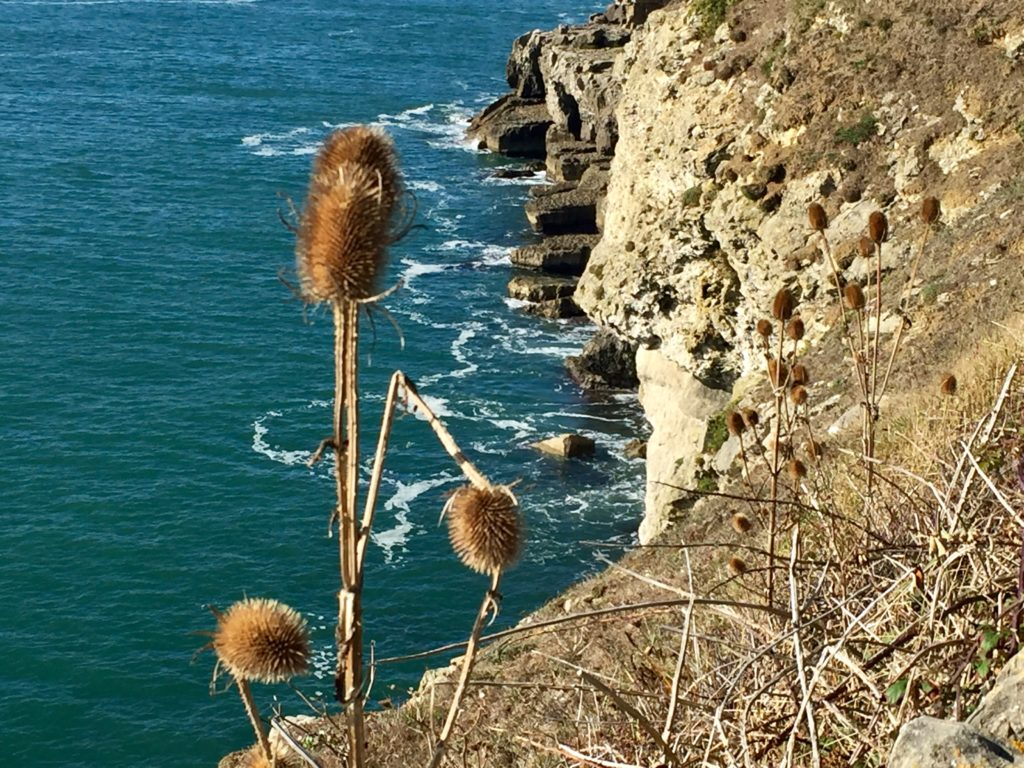 Teasels at Durlston