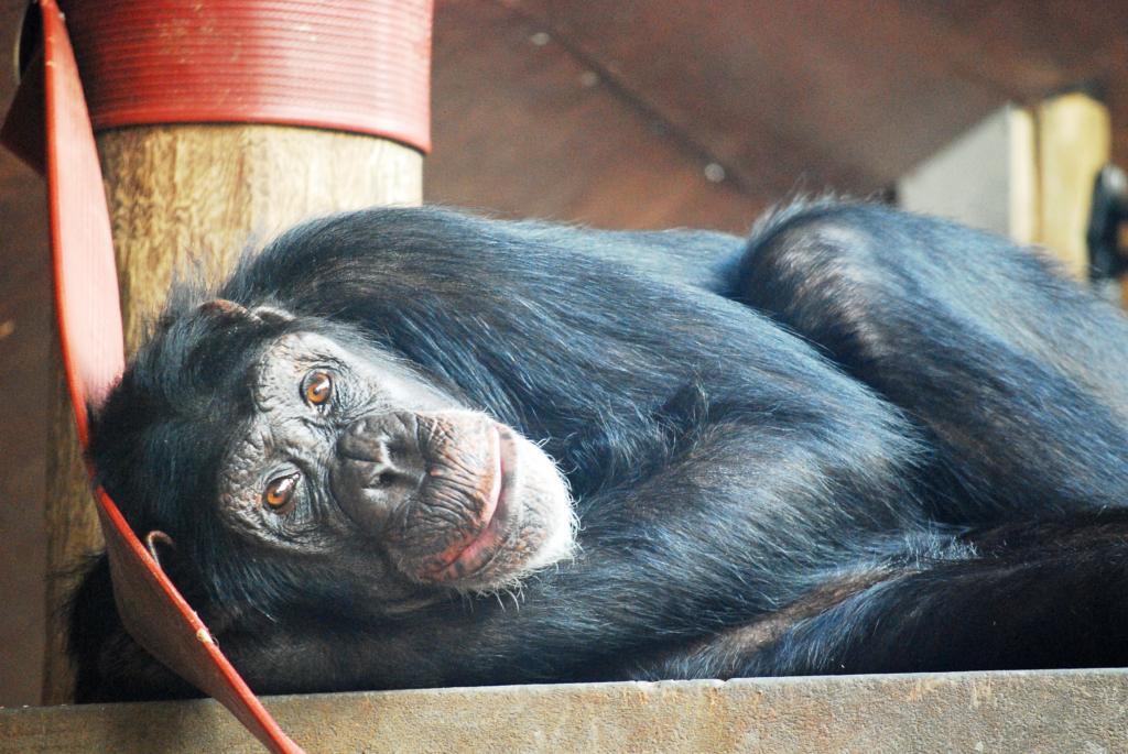 Chimp at Monkey World