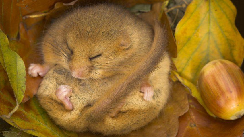 Dormouse in hibernation