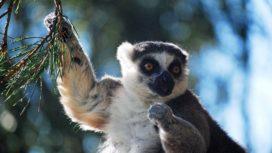 Lemur at Monkey World