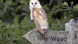 Adult female barn owl at Lorton Meadows © Paul Williams