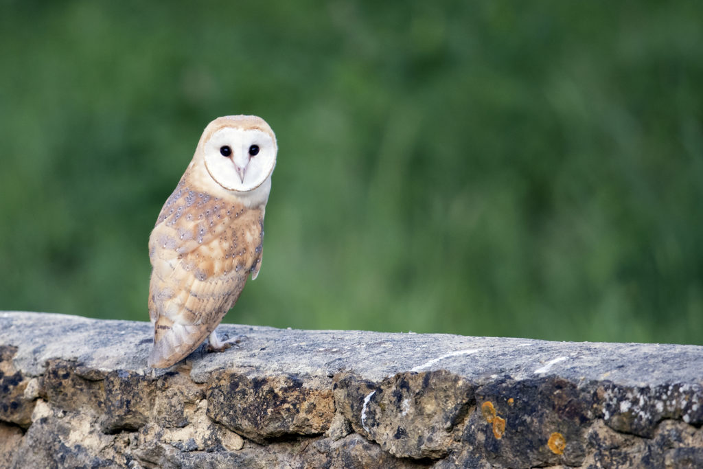 Barn Owl at Lorton © Paul Williams