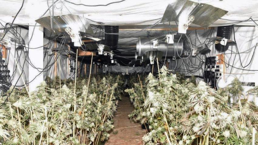 Cannabis factory in Wareham