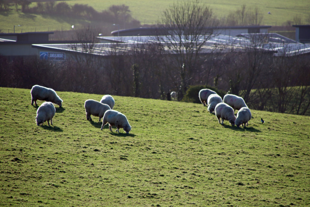 Sheep in one of the fields in Swanage, where housing in proposed