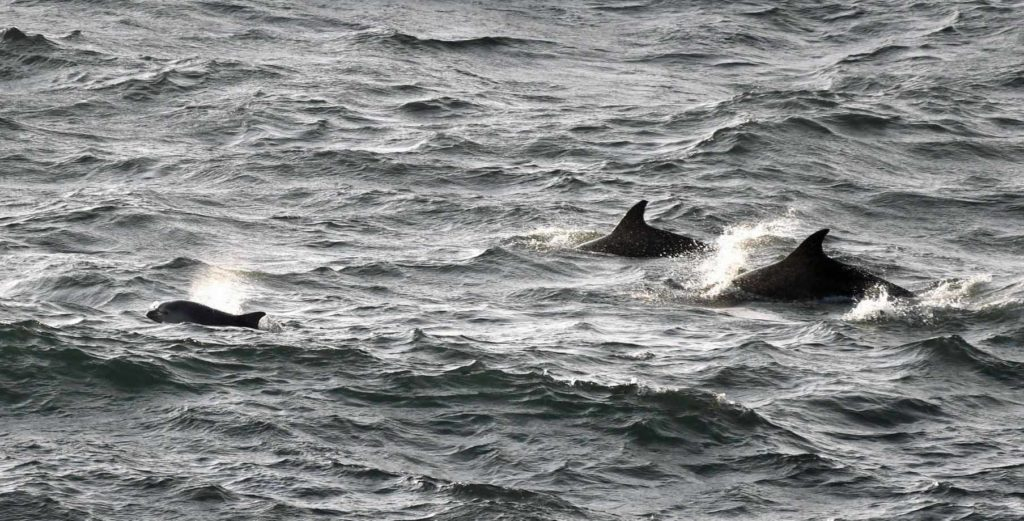 Dolphins in the sea at Durlston