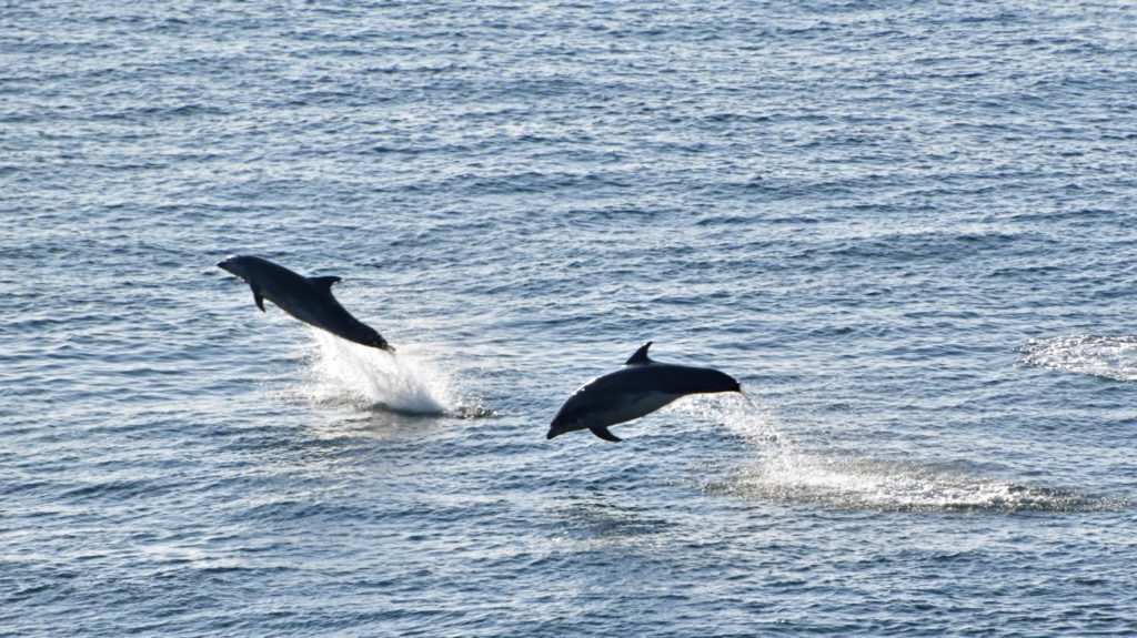 Jumping dolphins at Durlston