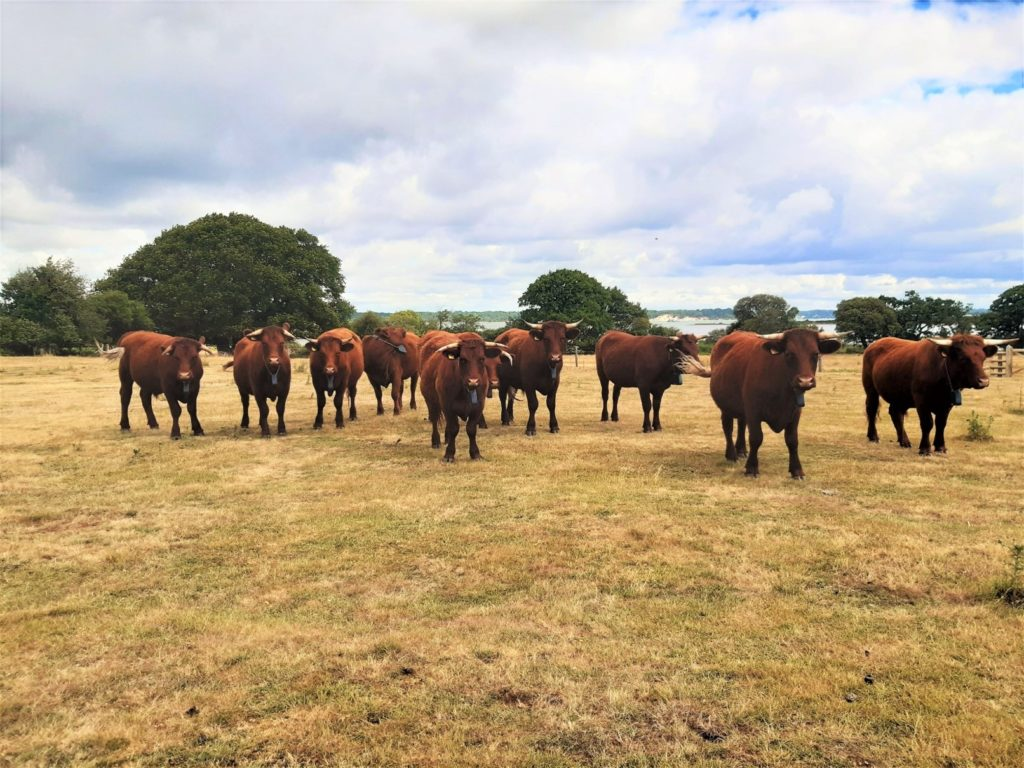 Red Devon Cattle in a field