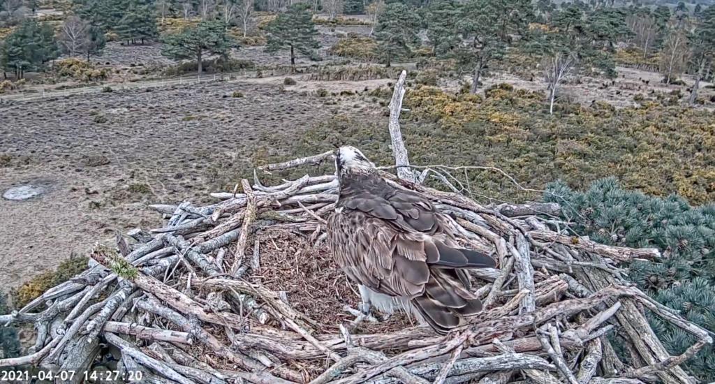 Osprey on the nestcam