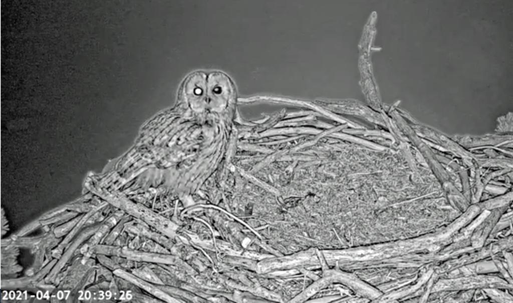 Tawny owl on nestcam
