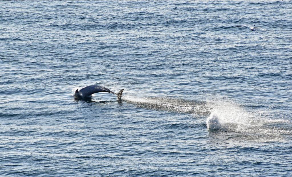 Bottlenose Dolphins at Durlston
