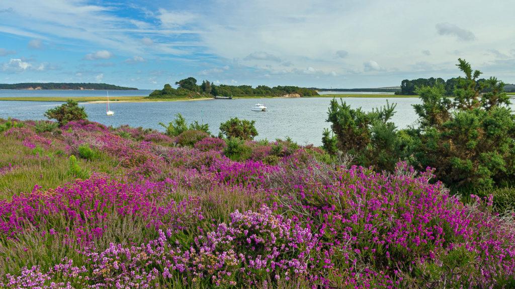 Arne heathland