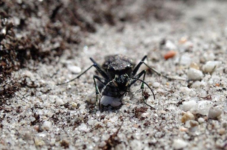 Heath Tiger Beetle