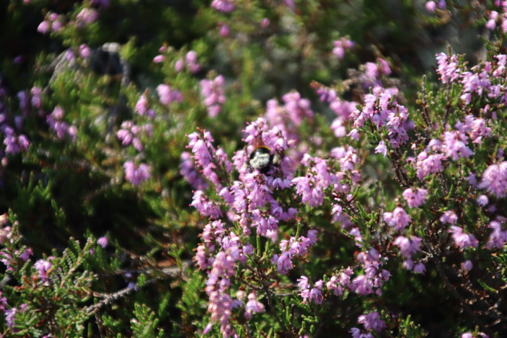 Heather on the Purbeck Heaths
