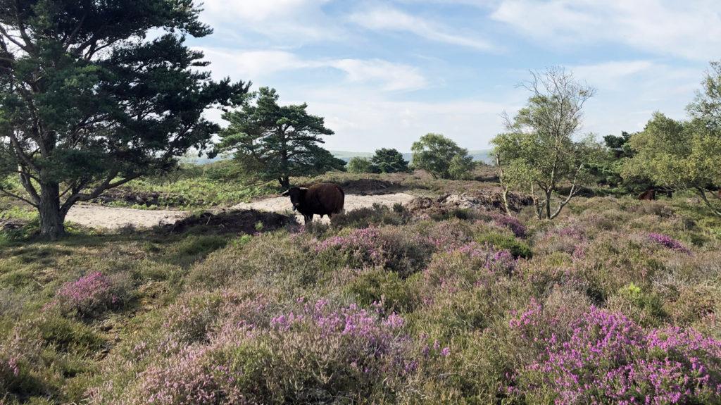 A cow on heathland