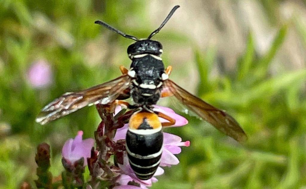Purbeck Mason Wasp