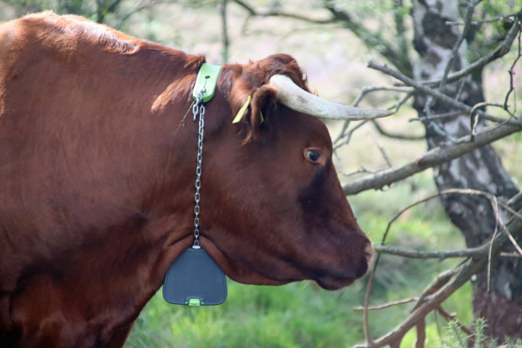 A Red Devon cow with the GPS collar