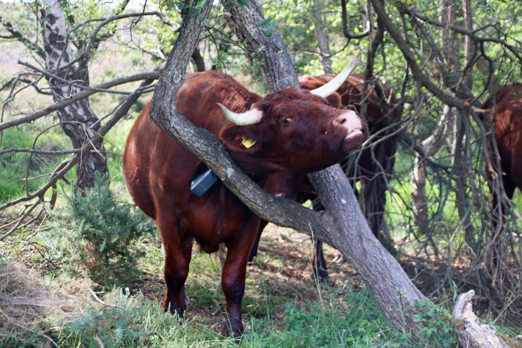Cow having a scratch
