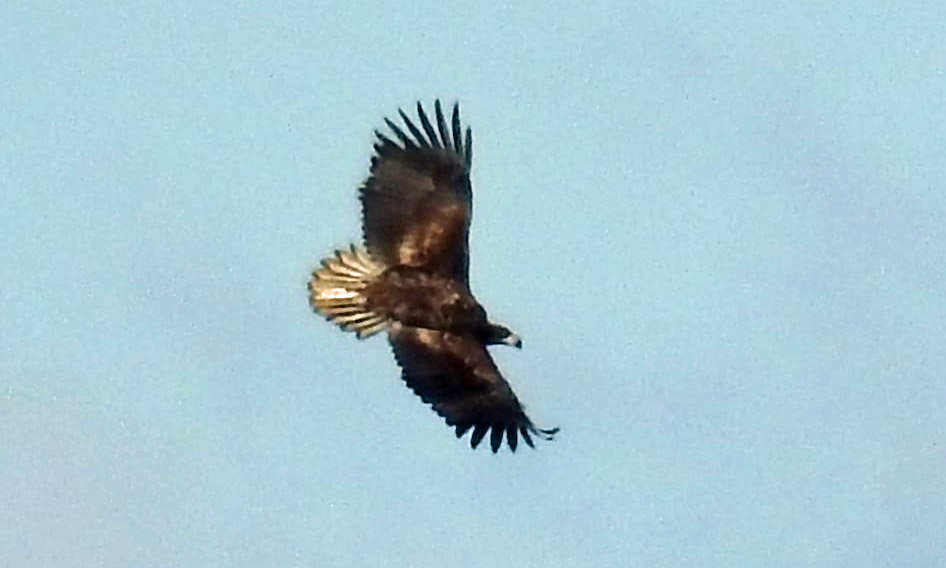 White tailed eagle at Arne