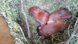Baby red squirrels 'kittens' on Brownsea Island